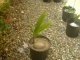Young (dwarf coconut tree)they start fruiting at 6feet potted ready to plant out 809 668 0884